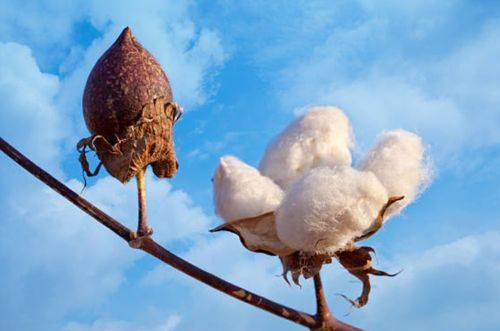 Ventajas y desventajas del algodón